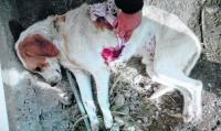 justicia para el perro acuchillado por adolecente de tandil