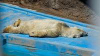 salvemos al oso polar arturo